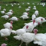 turkeys graze in a grassy area