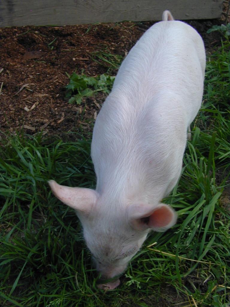 A white York piglet.