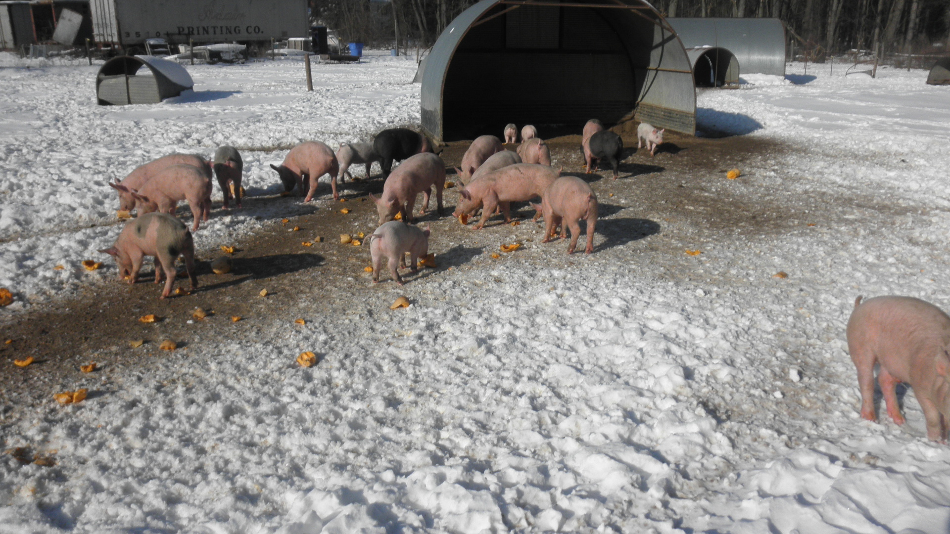 A herd of pigs roaming around their field.