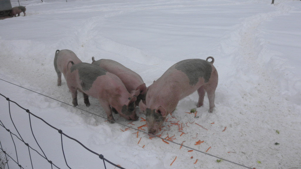 pigs eating carrot skins