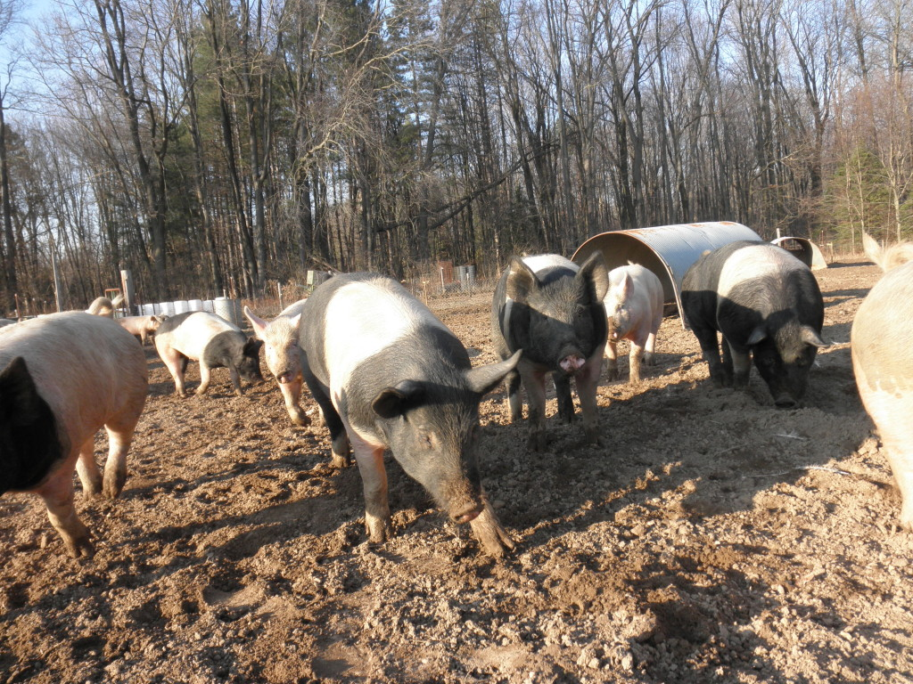 Pigs walking around in a field giving them a lot of space.