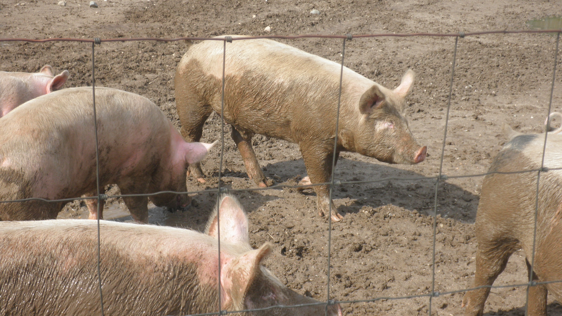 Our pigs playing in the mud.