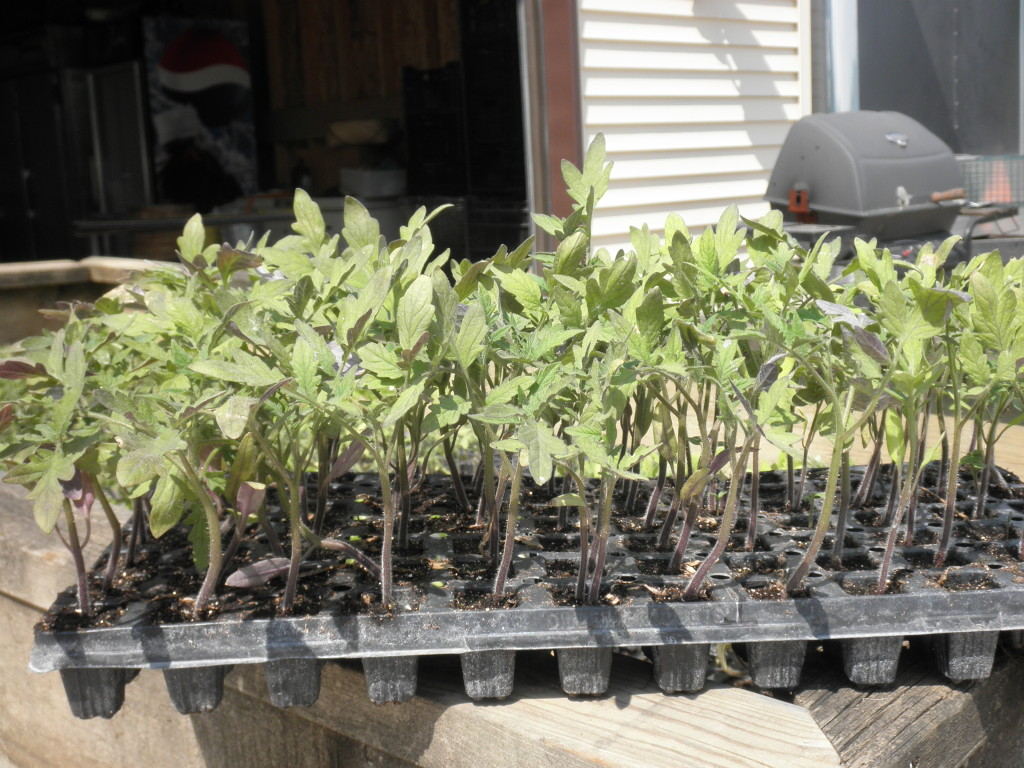 Tomato plants getting ready to go out to the garden.