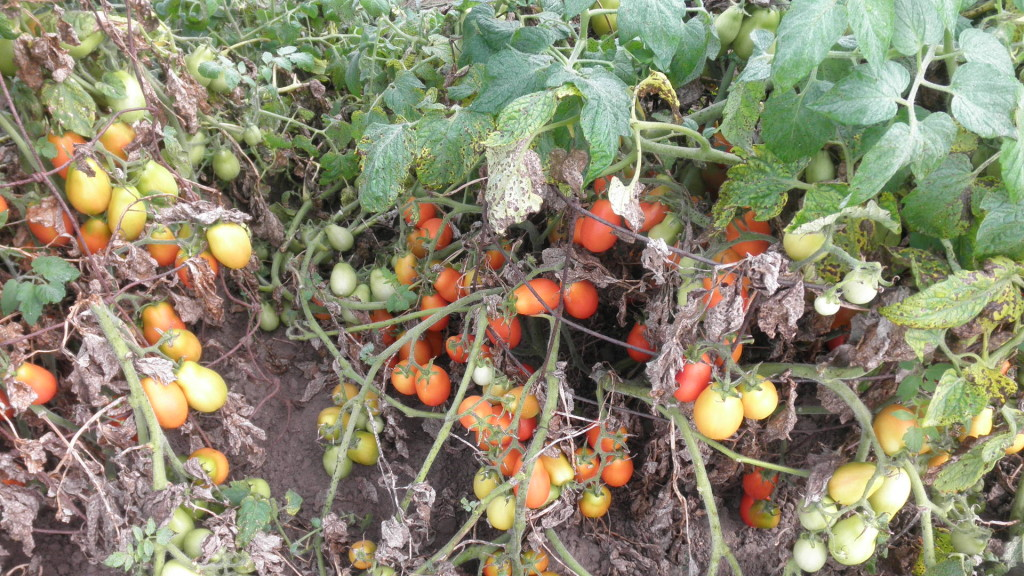 Cherry tomatoes ripening on the plant in our garden.toes