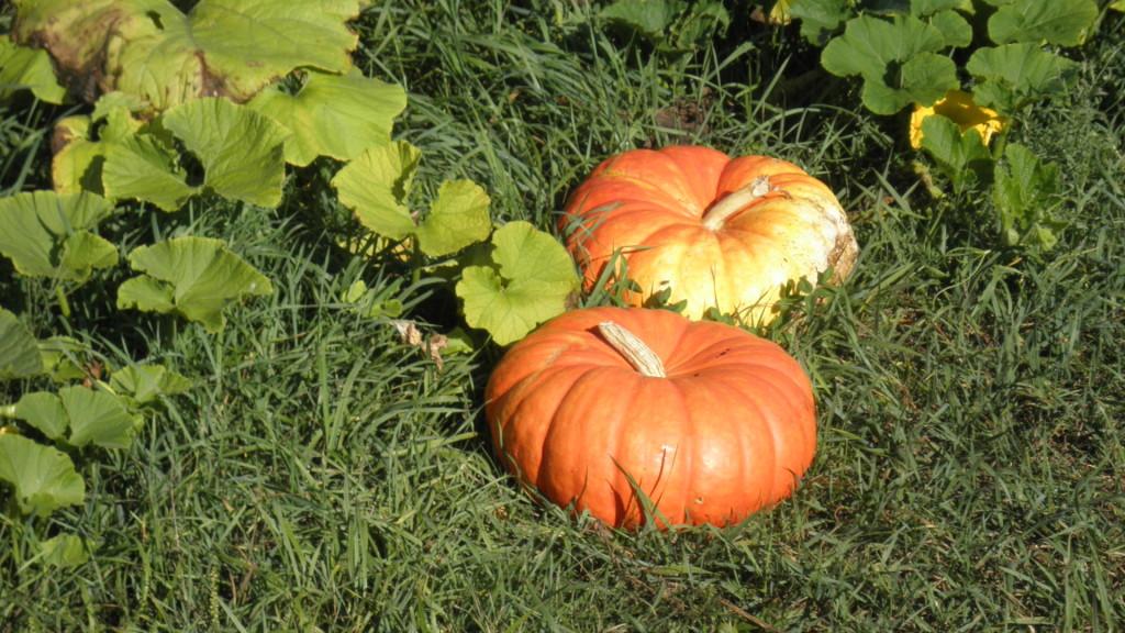 Cinderella Pumpkins flatter than normal pumpkins