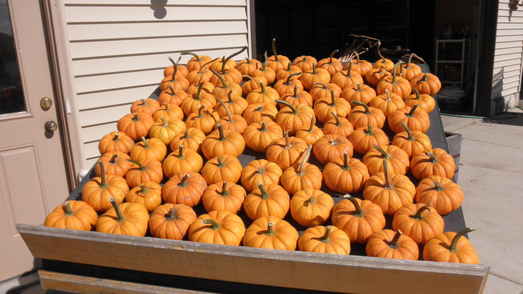 A sample of our mini pumpkins.
